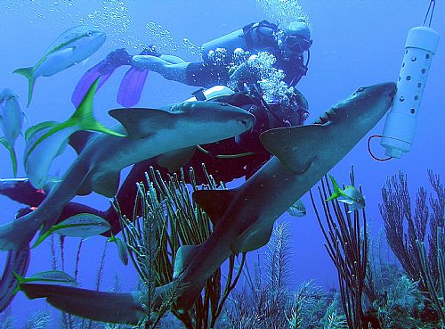 swimming-with-the-sharks-shark-alley-belize