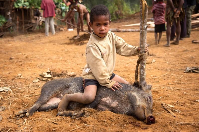 Resultado de imagen para cerdos en Papúa Guinea internet